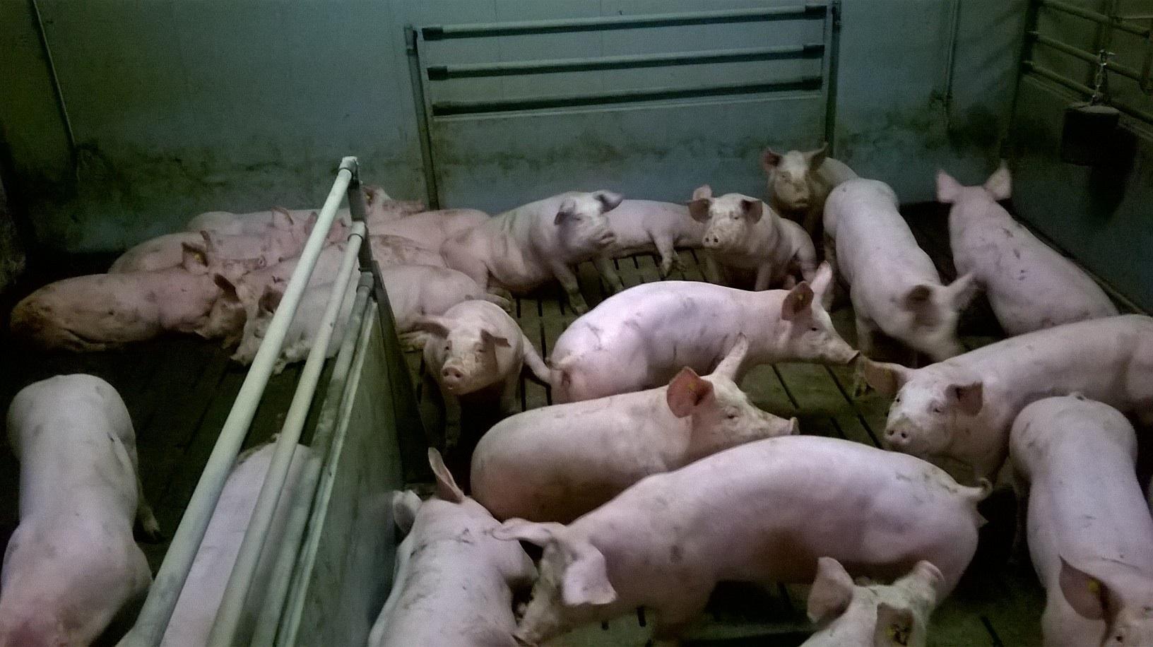 Viele Schweine in einem Stall der konventionellen Tierhaltung