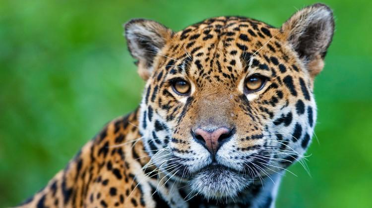 Jaguar: Unser Fleisch-Konsum beeinflusst seinen Lebensraum