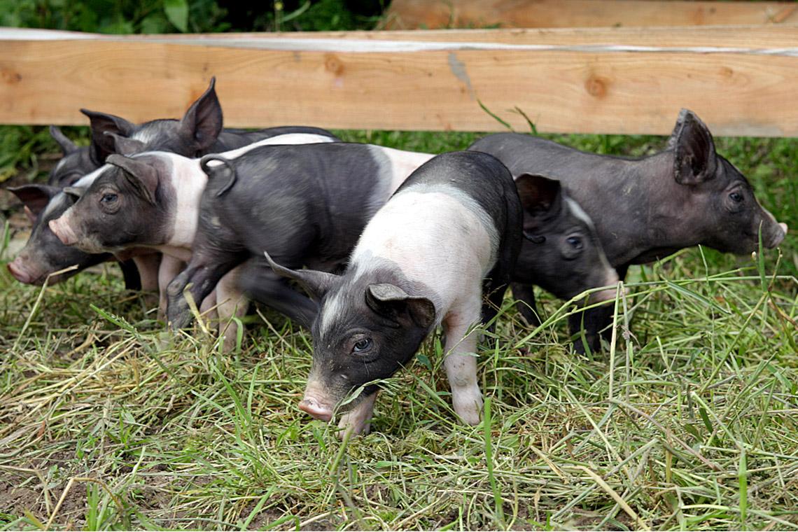Beinahe wären sie ausgestorben: Angler Sattelschweine, Ferkel