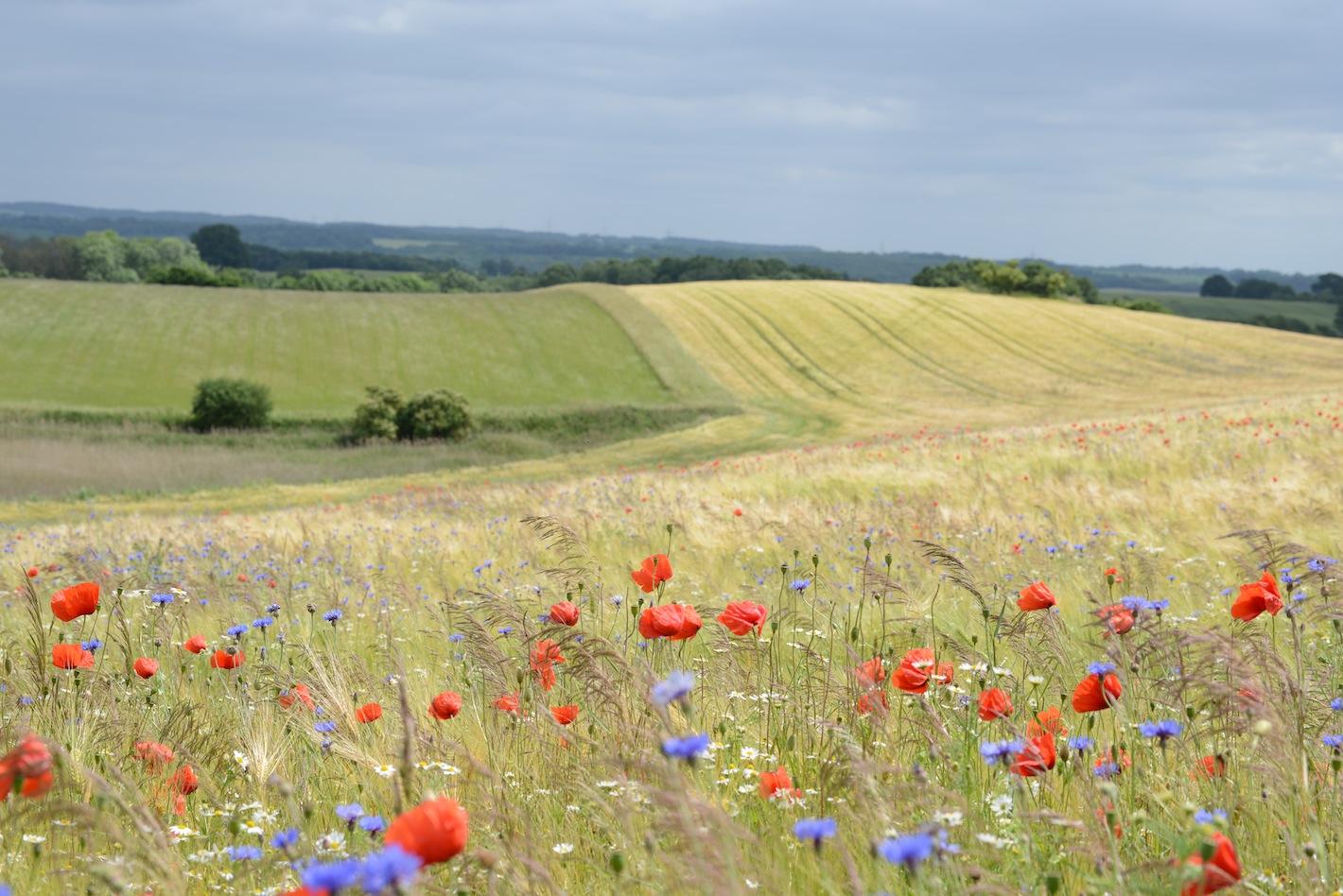 Felder und Wiesen: Lebensraum für Wiesenvögel, Amphibien und Wildkräuter
