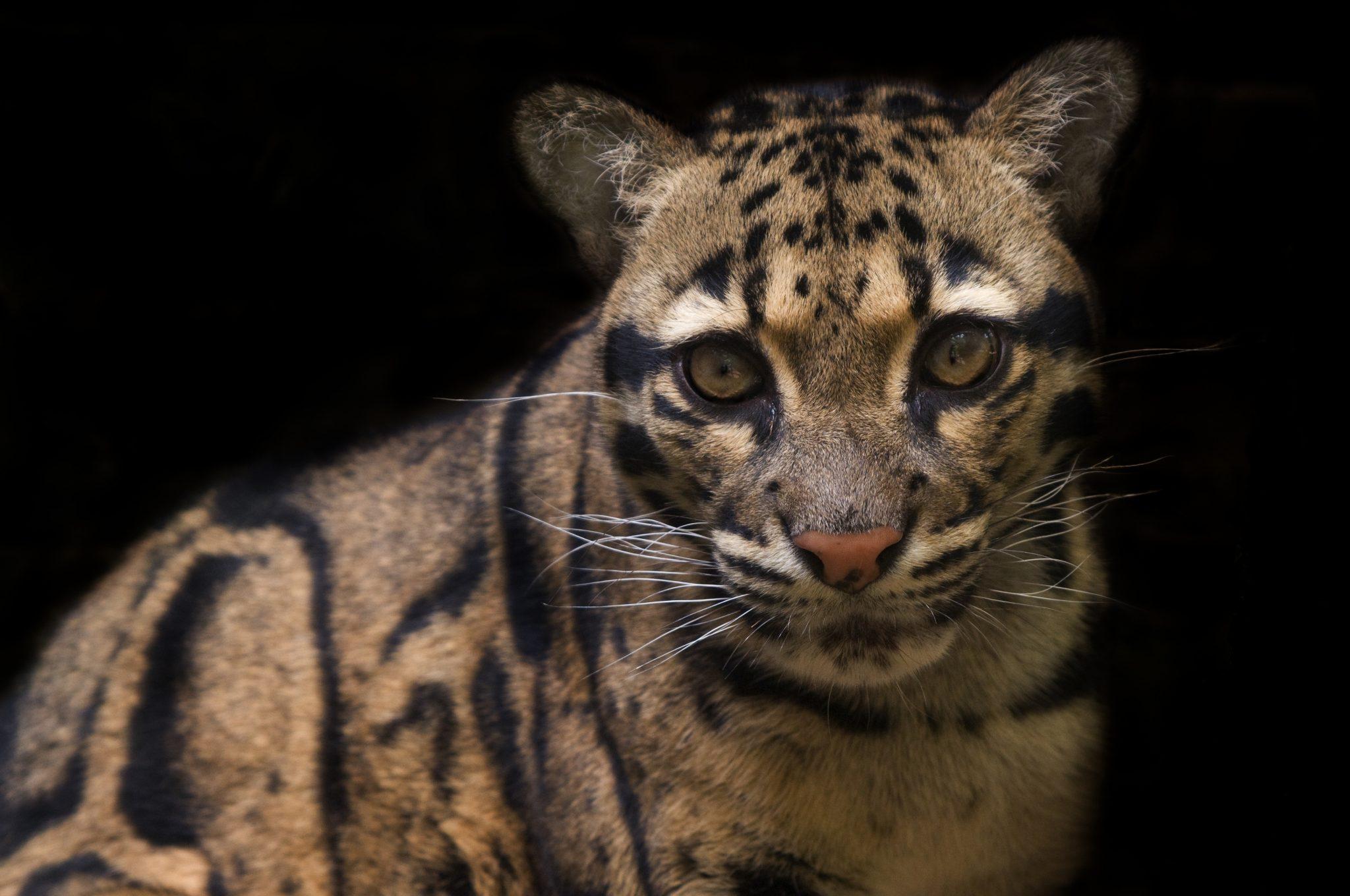 Die stark bedrohten Nebelparder sind noch selten in Kambodscha anzutreffen. © naturepl.com / Edwin Giesbers / WWF