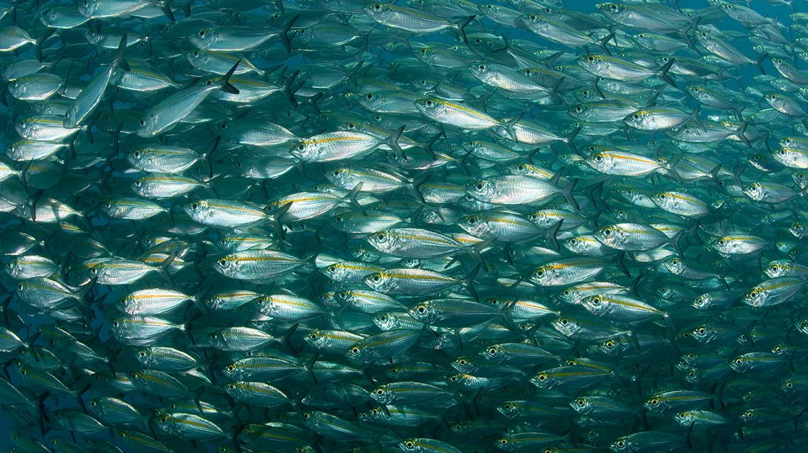 WWF, Edeka und der Fisch: Schwarm von Stachel Makrelen © Jürgen Freund