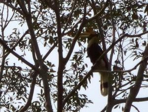 Doppelhornvogel in Kambodscha © Arnulf Koehncke / WWF
