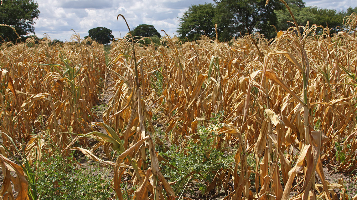 Ähren auf einem Feld in Sambia: Herben Nachernteverlusten in Sambia steht Lebensmittelverschwendung in Deutschland gegenüber