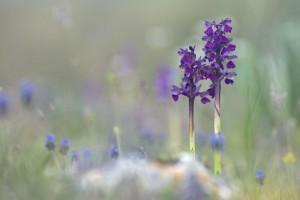 Kleines Knabenkraut: Orchidee, Italien