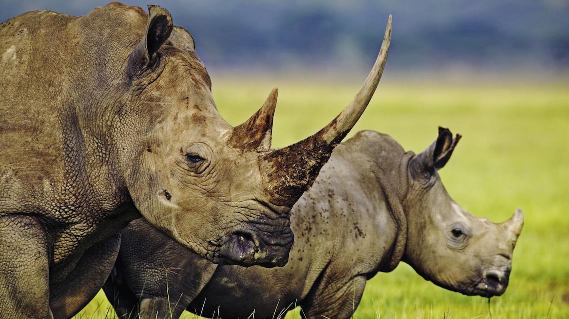 Zwei Nashörner: Eines davon hat kein Horn mehr. Folge der Wilderei, die immer mehr grassiert.