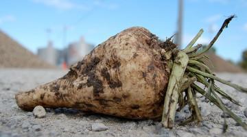 Kann man aus Zuckerrüben Batterien herstellen? © iStock / Getty Images