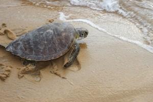 Schildkröte auf dem Weg in die Freiheit