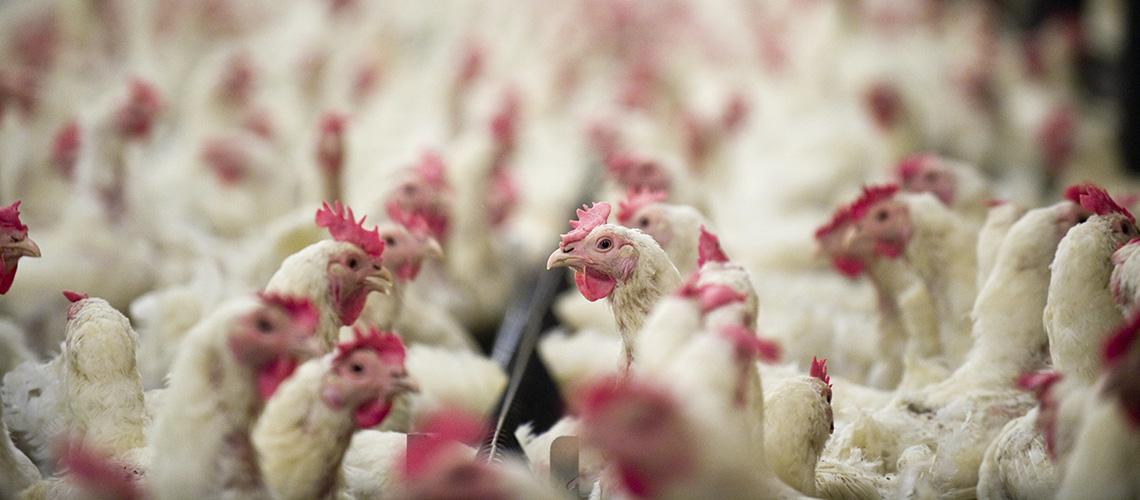 Intensivtierhaltung von Hühnern (c) iStock / getty images