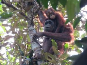 Die scheuen Menschenaffen sind nur selten zu sehen. Meist verstecken sie sich in den Bäumen. © wwf-Kalteng research-team