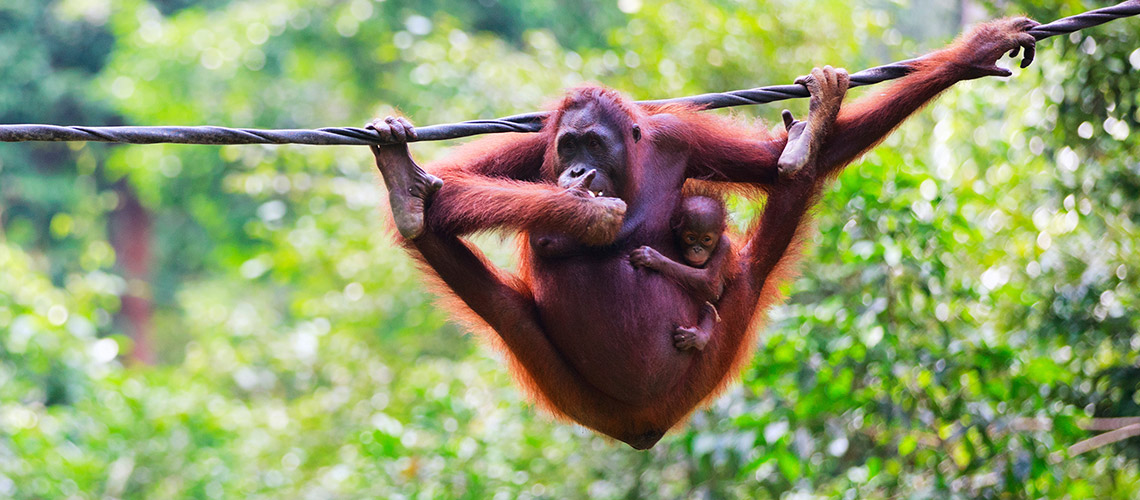 Die Orang-Utans lieben es, in den Bäumen abzuhängen. © iStock/Getty Images