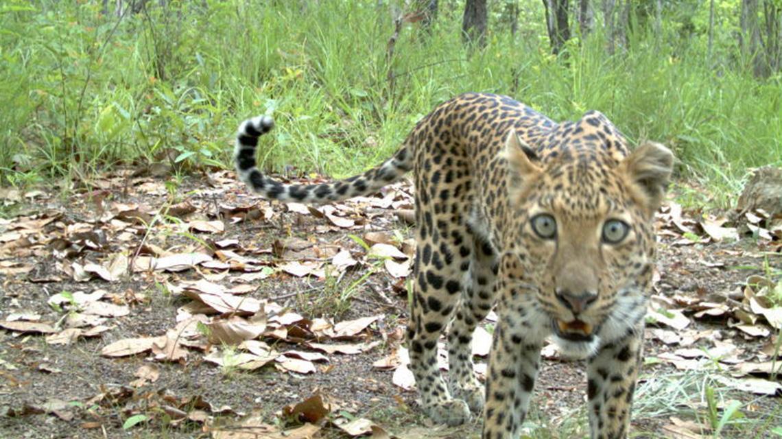 Aufnahme eines Leoparden, der in eine Kamerafalle getappt ist.