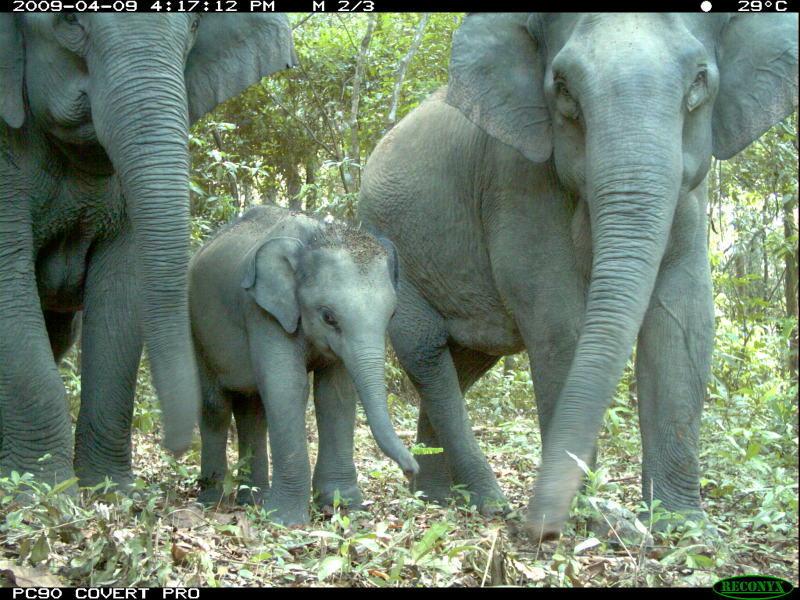 Aufnahme einer Kamerafalle: Eine Elefantenfamilie im Wald.