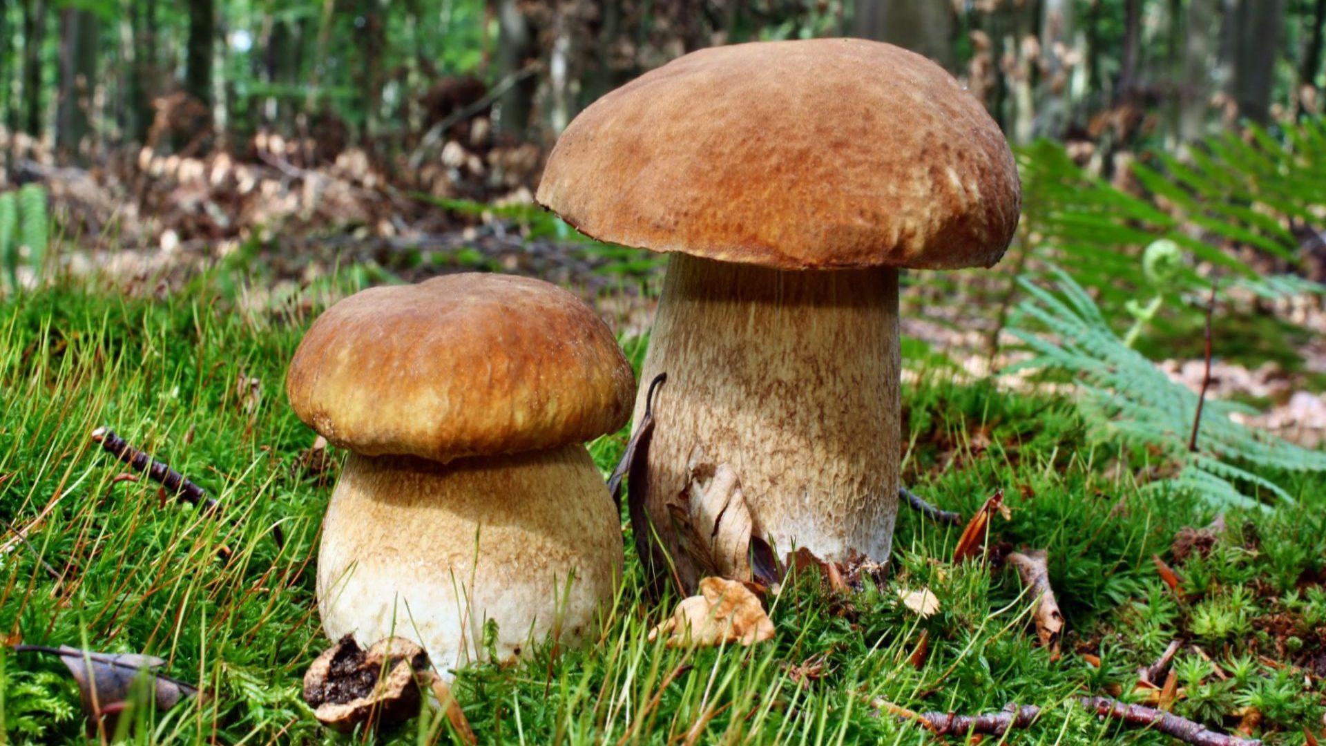 Zwei Steinpilze im Wald
