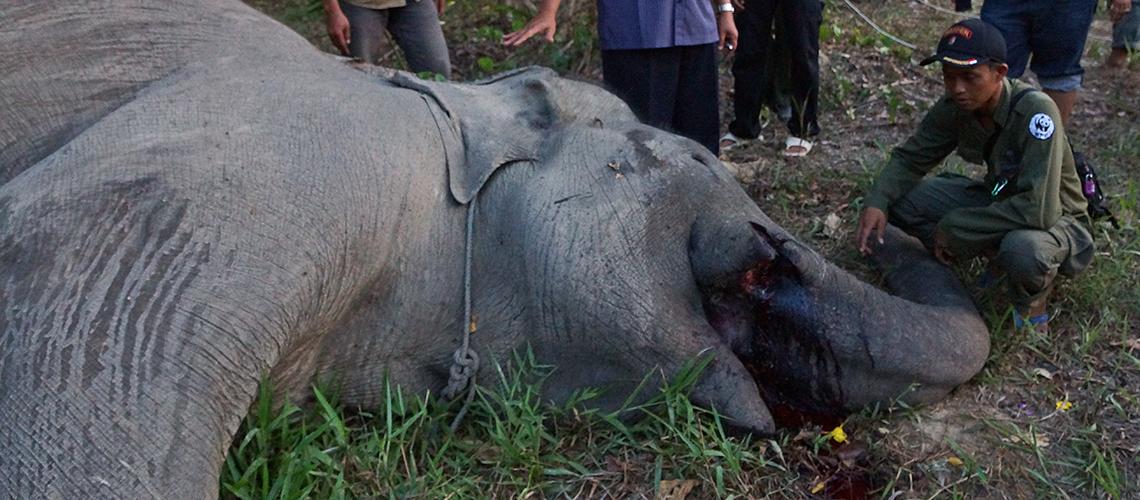 Getöteter Patrouillen Elefant Yongki mit einfernten Stoßzähnen © Job Charles / WWF Indonesien