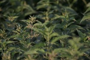 Brennnesseln nah: Als Zeigerpflanzen weisen auch sie auf Stickstoff im Boden hin.
