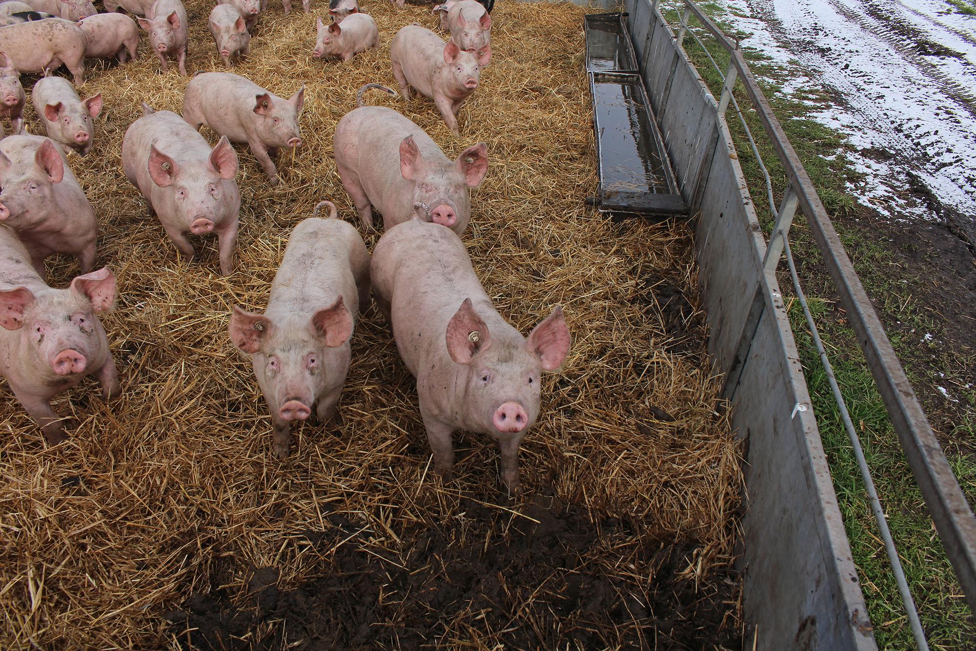 Bio Schwein: So kann Fleisch aussehen – mit Auslauf, unkupiertem Schwanz und überwiegend regional erzeugtem Futter © Markus Wolter / WWF Deutschland