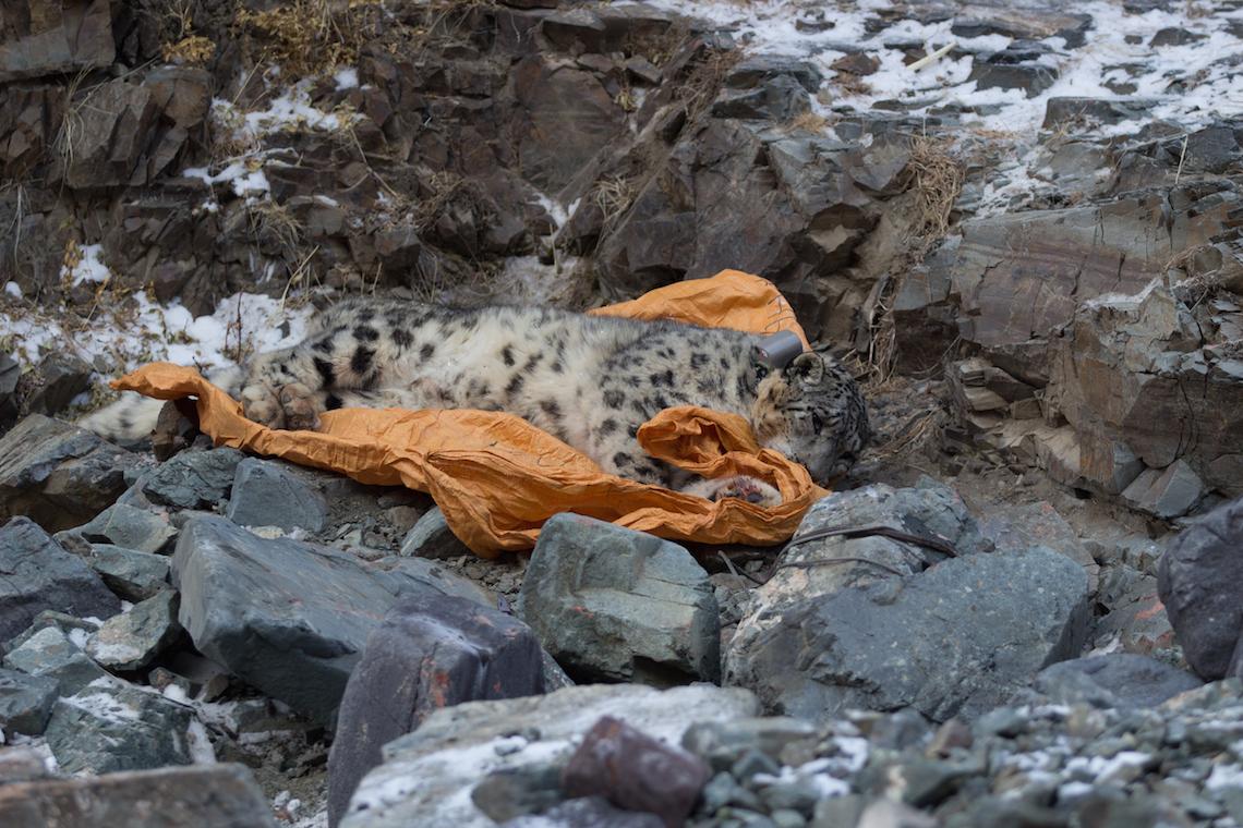 Schneeleopard liegt auf Plane in den Bergen, hat Satellitenhalsband an, die Augen geöffnet.
