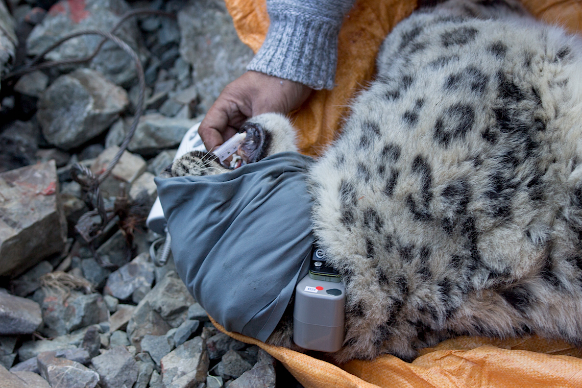 Nahaufnahme eines betäubten Schneeleoparden unter medizinischer Überwachung: Das Satellitenhalsband wird angelegt.