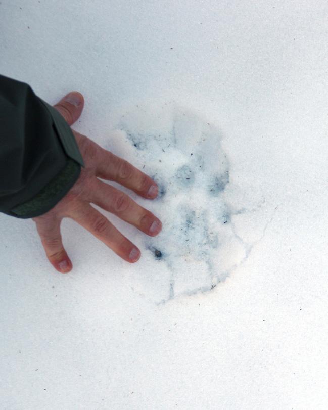 Am dritten Tag unserer Expedition in die Mongolei finden wir endlich einen Pfotenabdruck im Schnee! © Oliver Samson, WWF