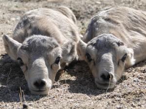 Mongolei: Zwei Saiga-Babys liegen dicht nebeneinander und strecken ihre merkwürdig geformten Knautschnasen Richtung Kamera.