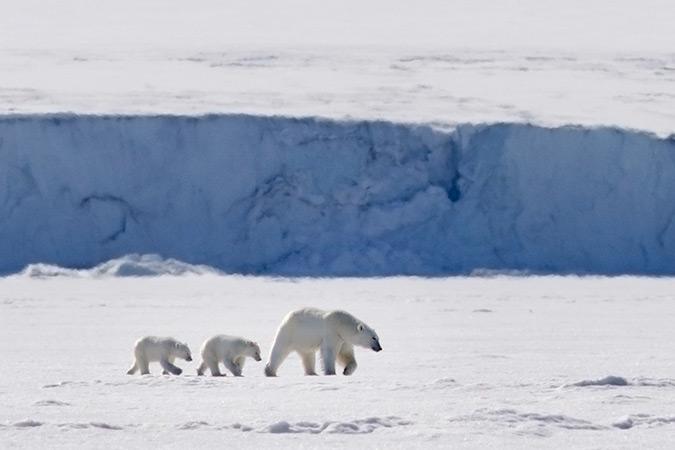 Muntere Eisbärenfamilie läuft durch den Schnee. © Kerstin Langenberger