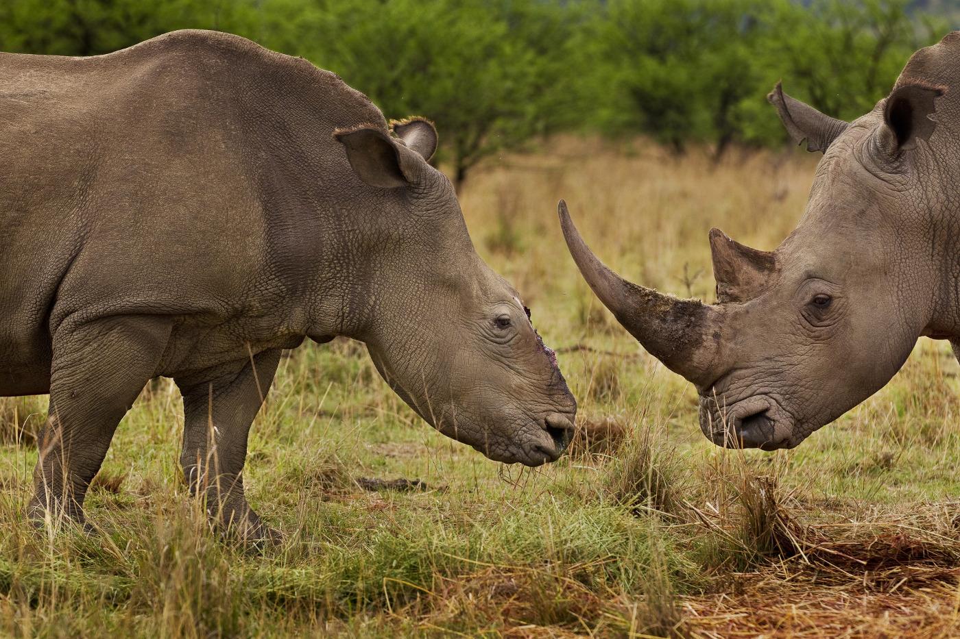 Zwei Nashörner, eines ohne Horn © Brent Stirton Getty Images WWF-UK