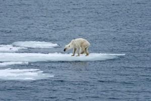 Abgemagerter Eisbär auf einer dünnen Eisscholle - Symbolbild für den Klimawandel © 2015 Kerstin Langenberger