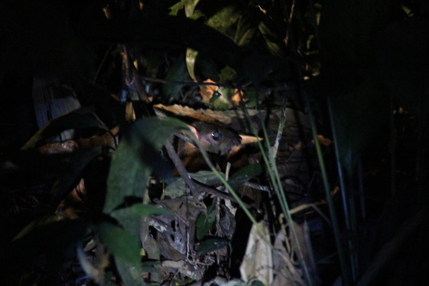 Mäusehirsch in Indonesien ©-Arnulf-Koehncke-WWF