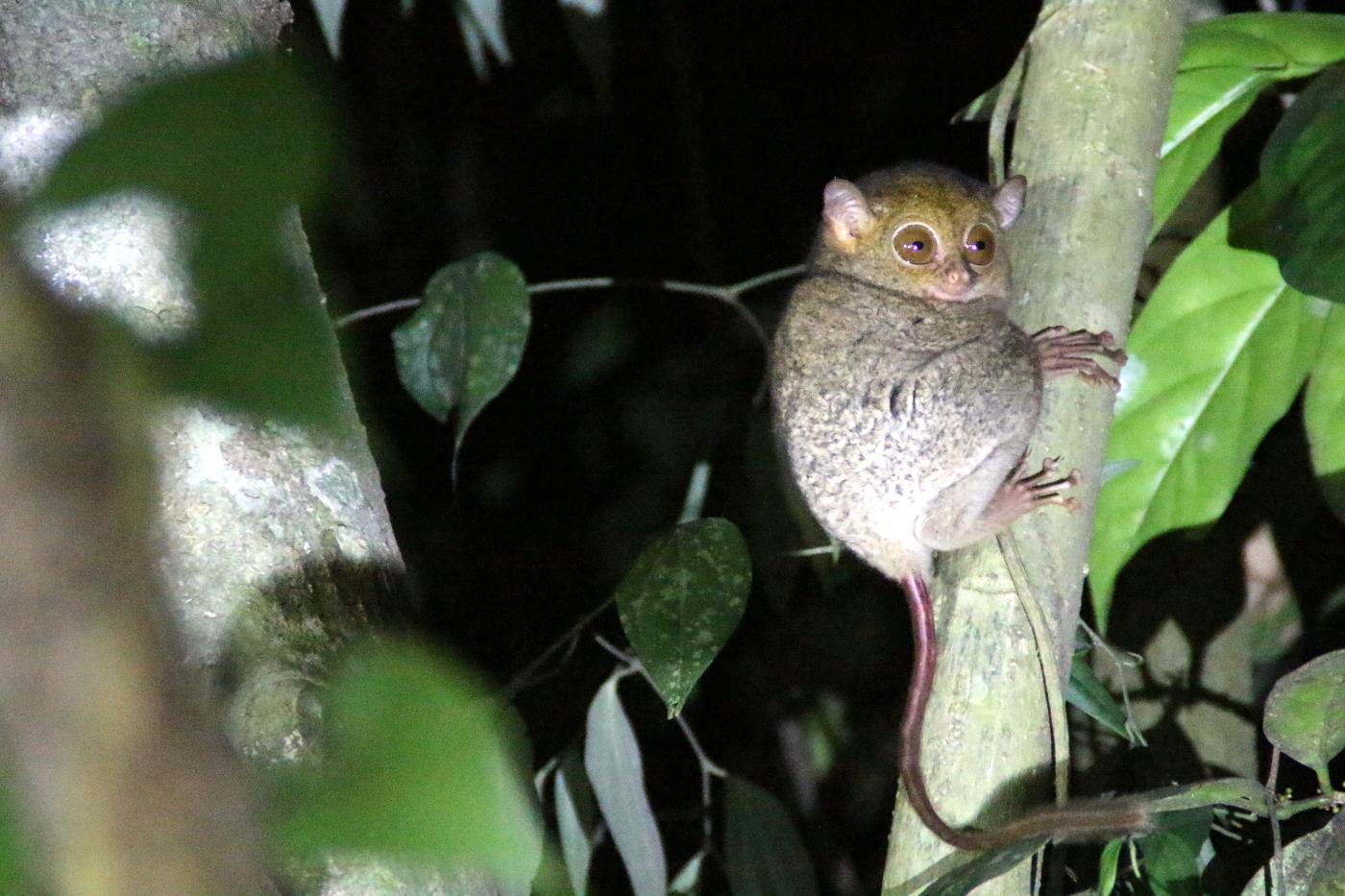 Koboldmaki in Indonesien © Arnulf Koehncke / WWF