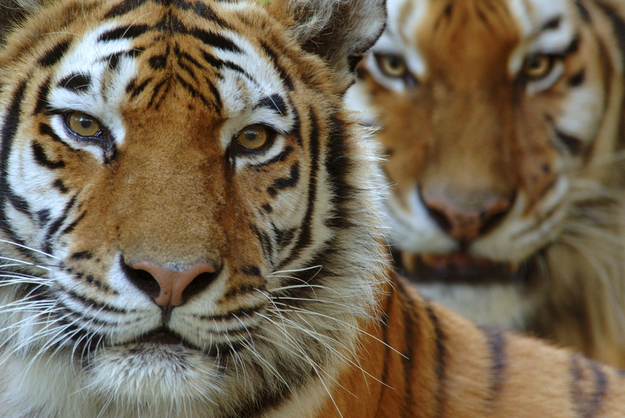 Jahresbericht 2015: Der WWF will eine deutlich höhere Tigerzahl, nicht nur am Amur