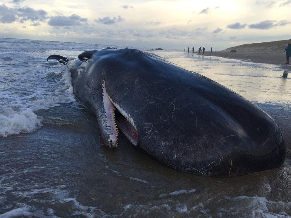 Inzwischen sind auch tote Pottwale an der niederländischen Nordseeküste angespült worden. © Eckard Boot