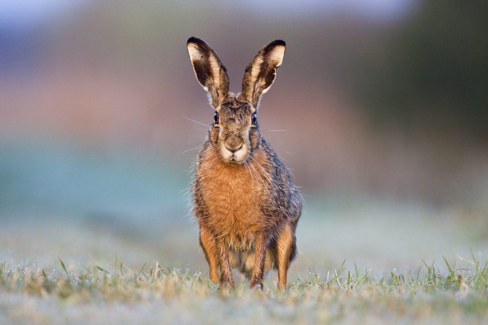 """Der Feldhase ist vermutlich der größte Fan unseres Projekts """"Landwirtschaft für Artenvielfalt"""". © iStock/getty images"""