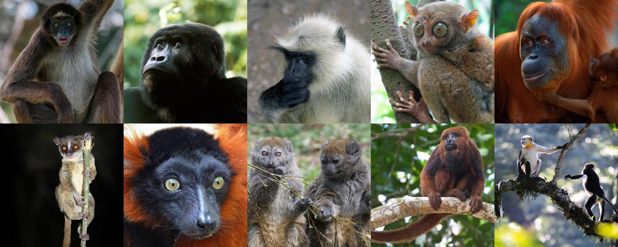 Welche Affenarten zu den bedrohtesten gehören siehst Du in unserer Fotostrecke!