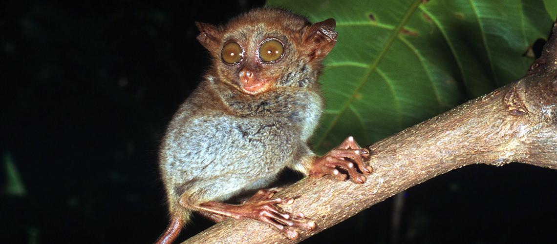 Der Koboldmaki ist einer der kleinsten Affen der Welt © Jürgen Freund / WWF