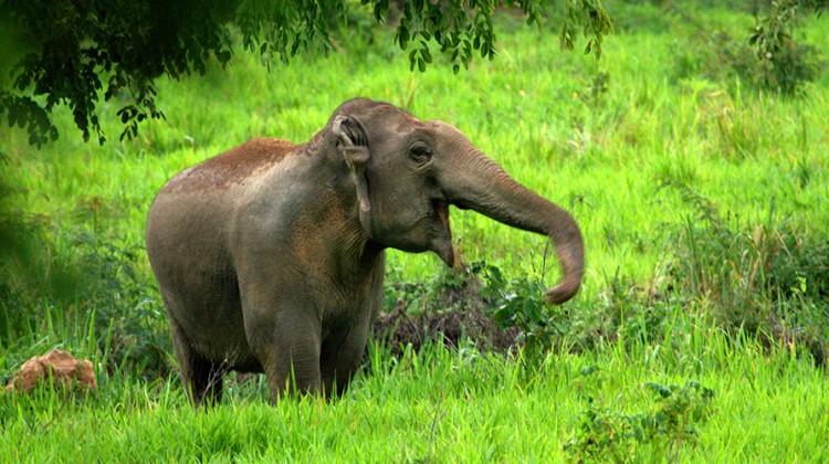 Erfolg für den Artenschutz: Keine Wilderei 2015 auf Elefanten im Kuiburi