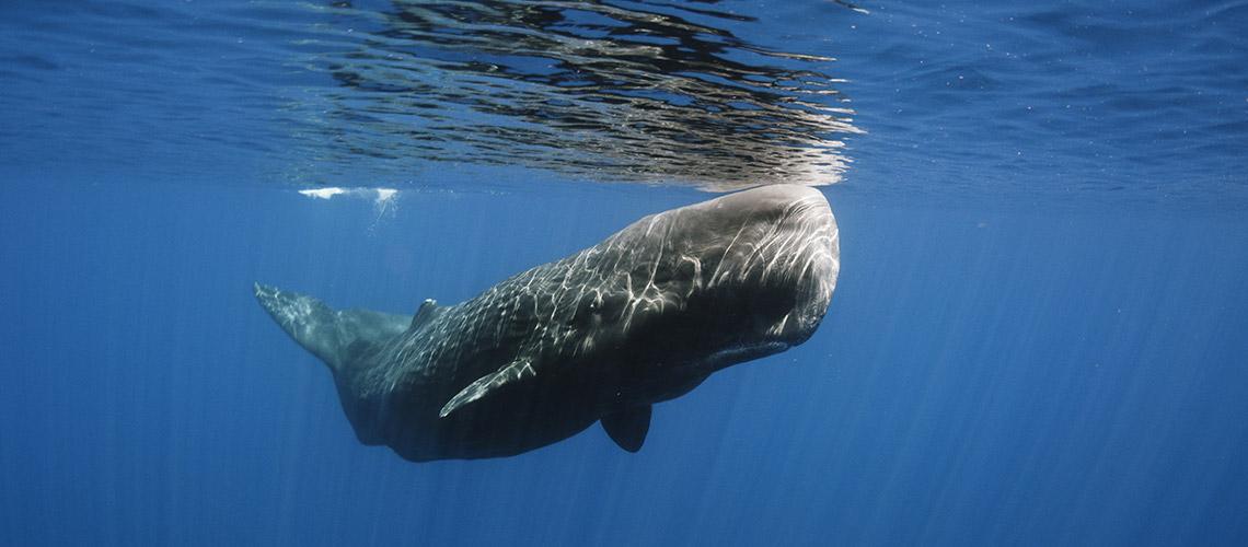 Weltrekordler beim Tauchen: Pottwal unter Wasser