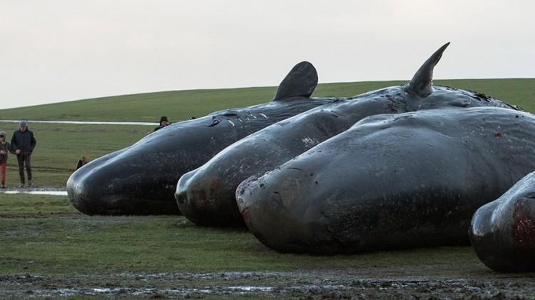 Pottwale liegen gestrandet an der Küste: Warum sterben die Wale?