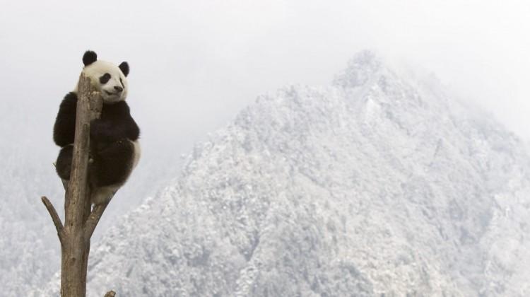 In Sichauan, China sitzt ein Panda auf dem baum vor schneebedeckten Bergen. Dank der Artenschutzarbeit des WWF hat sich die Zahl der Panda stabilisiert