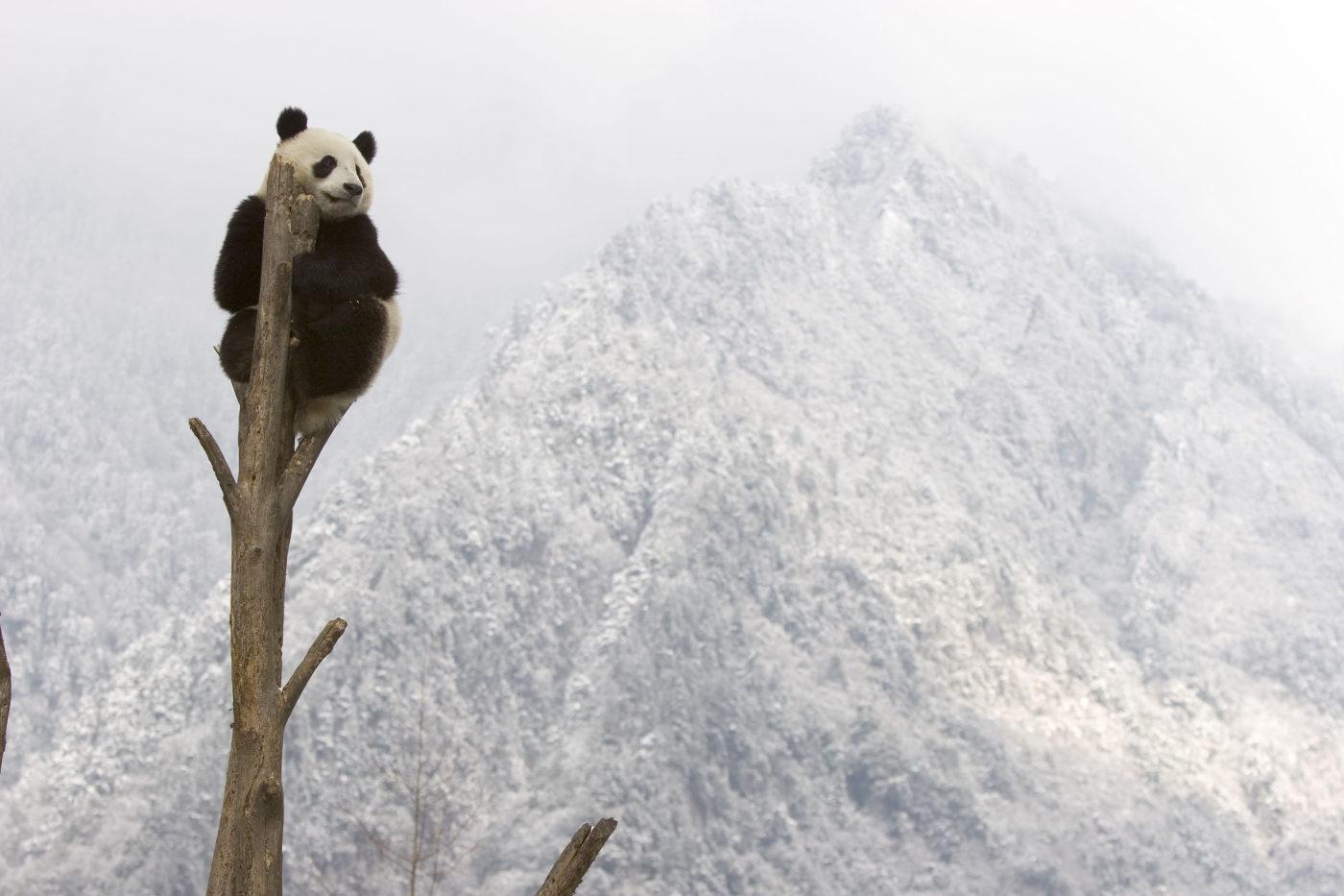 Ein Panda sitzt in Sichuan, China auf einem Baum vor schneebedeckten Bergen