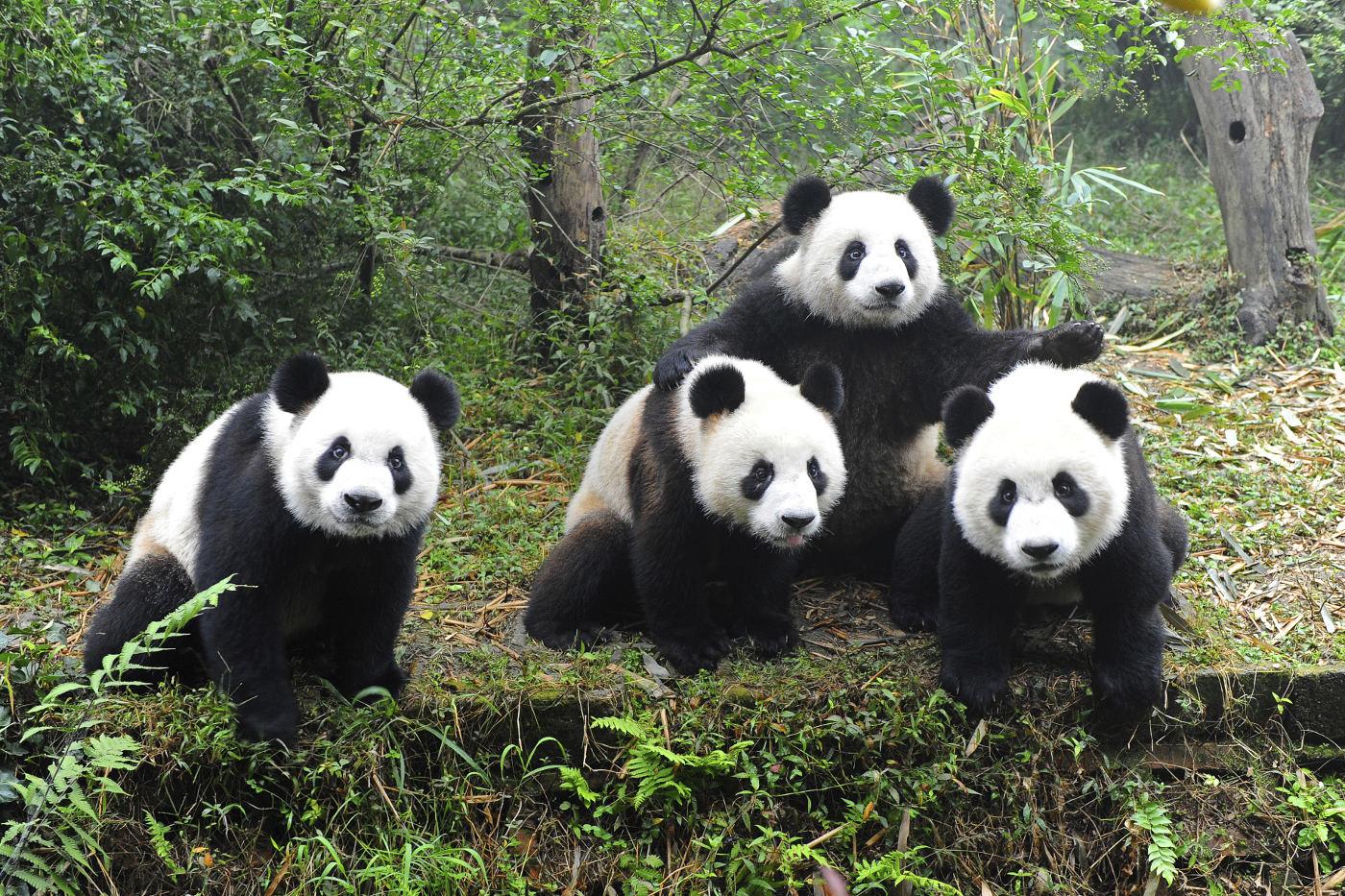 Vier Pandas posieren für die Kamera - durch Artenschutz hat sich die Zahl der Pandas wieder stabilisiert