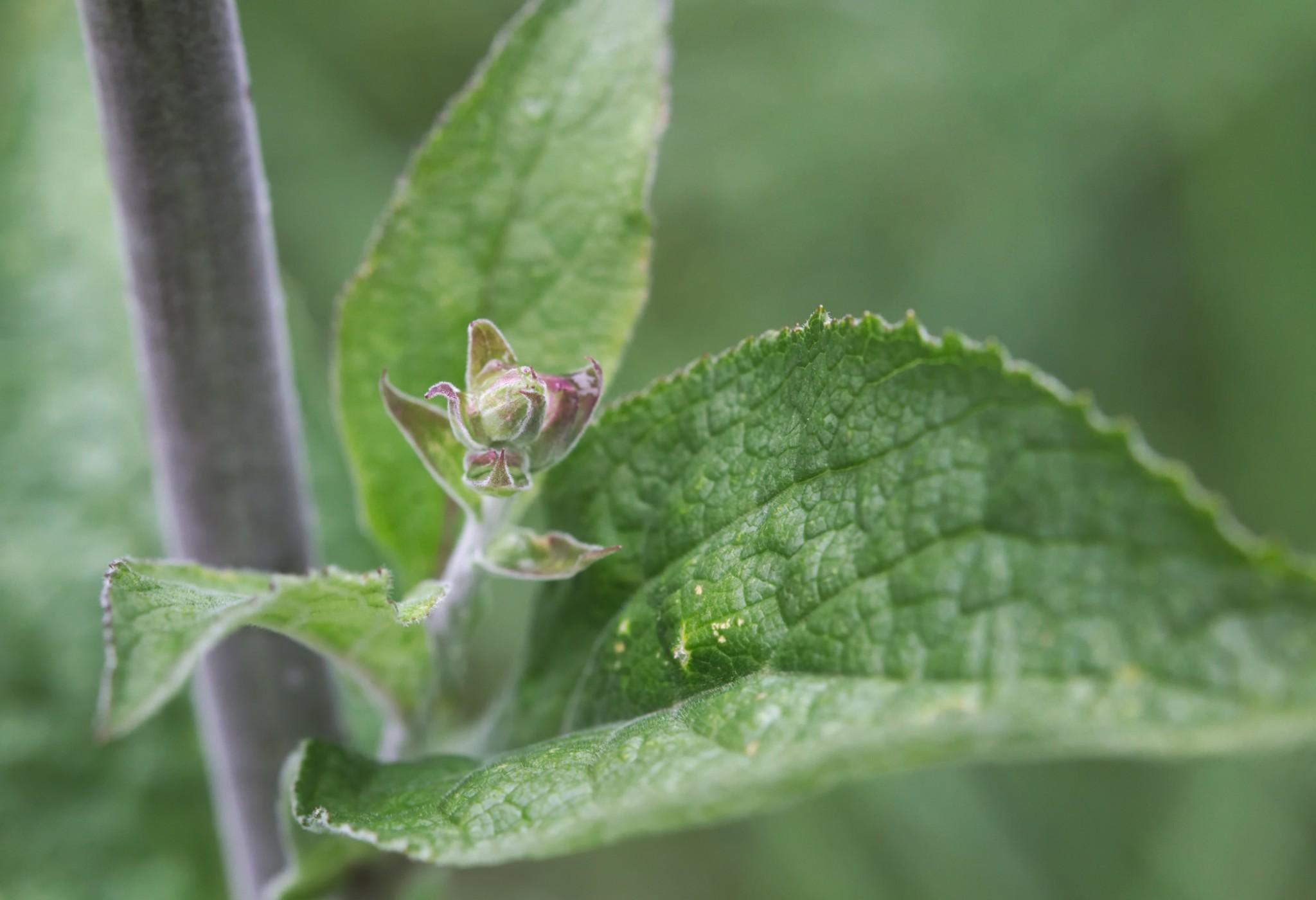 Fingerhut mit Blütenknospe © iStock / getty images
