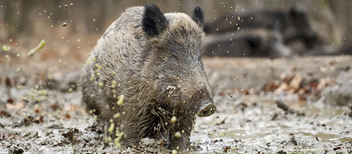 Schweine in der Suhle: Hunderte Jahre waren Wildschweine in England ausgestorben. Jetzt kommen sie zurück im Vereinigten Königreich - und es gibt Diskussionen