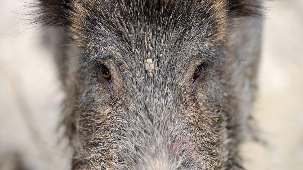924 malvorlage wildschwein frischling  coloring and