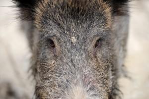 Wildschwein wildschweine frischlinge jagd