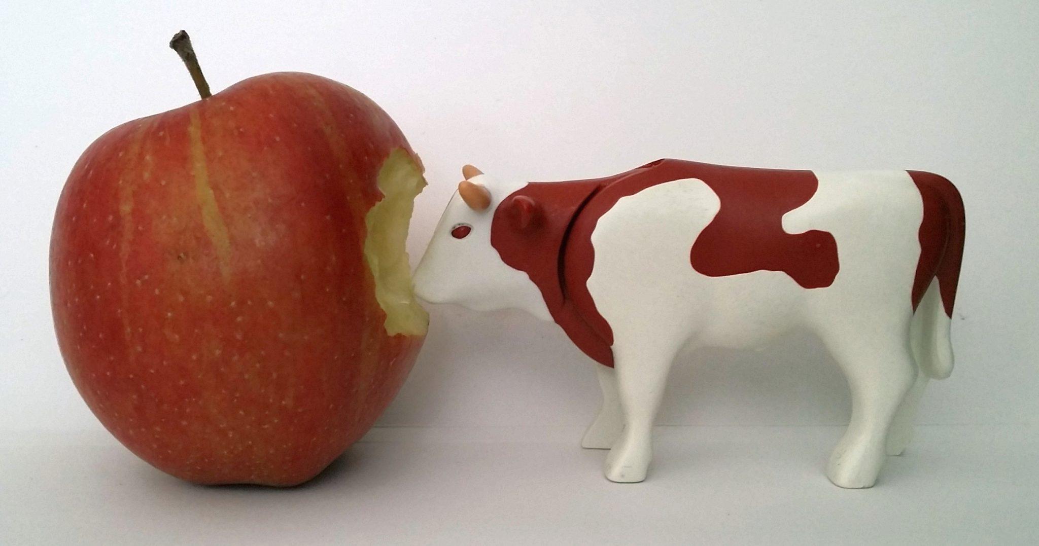 Plastikkuh knabbert an einem Apfel