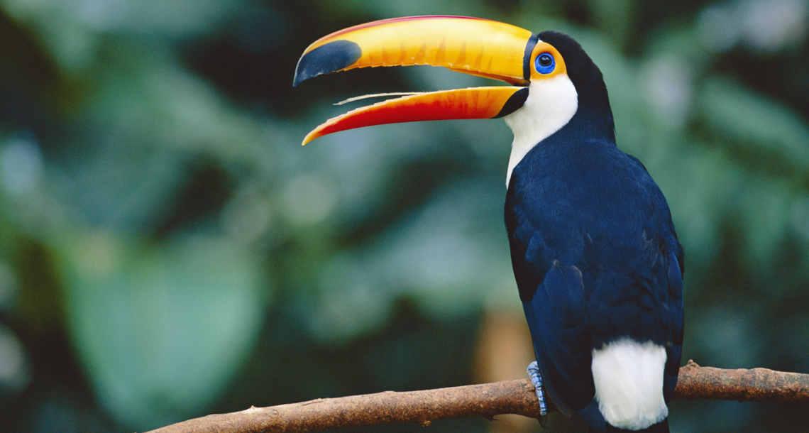 Tukan im Amazonas: Die neuen Schutzgebiete in Brasilien sind auch wesentlich durch die Arebeit des WWF möglich geworden