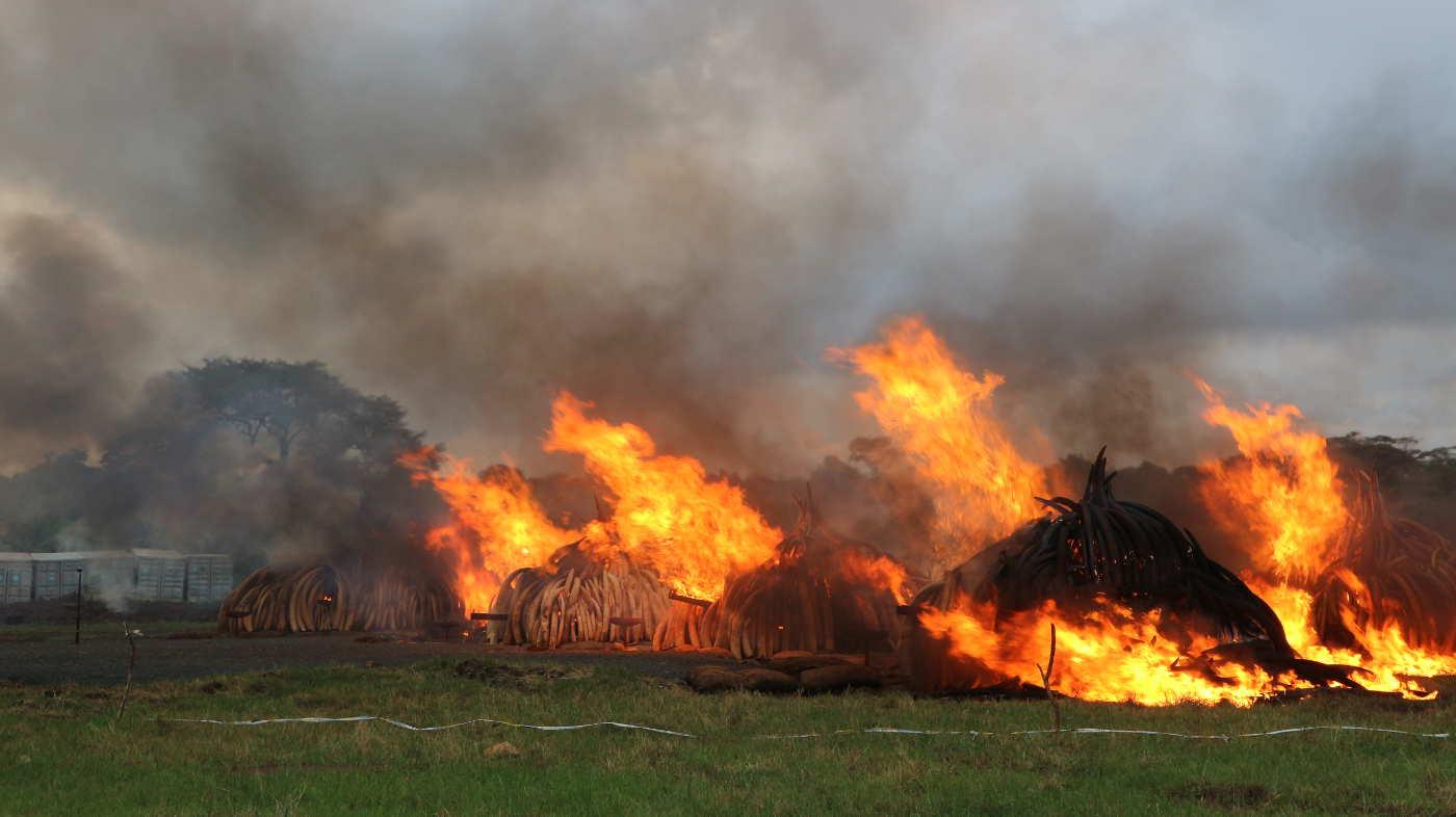 Scheiterhaufen mit brennendem Elfenbein bei der großen Stoßzahn verbrennung in Nairobi Kenia - ein Schlag gegen den illegalen Handel, den der WWF unterstützt