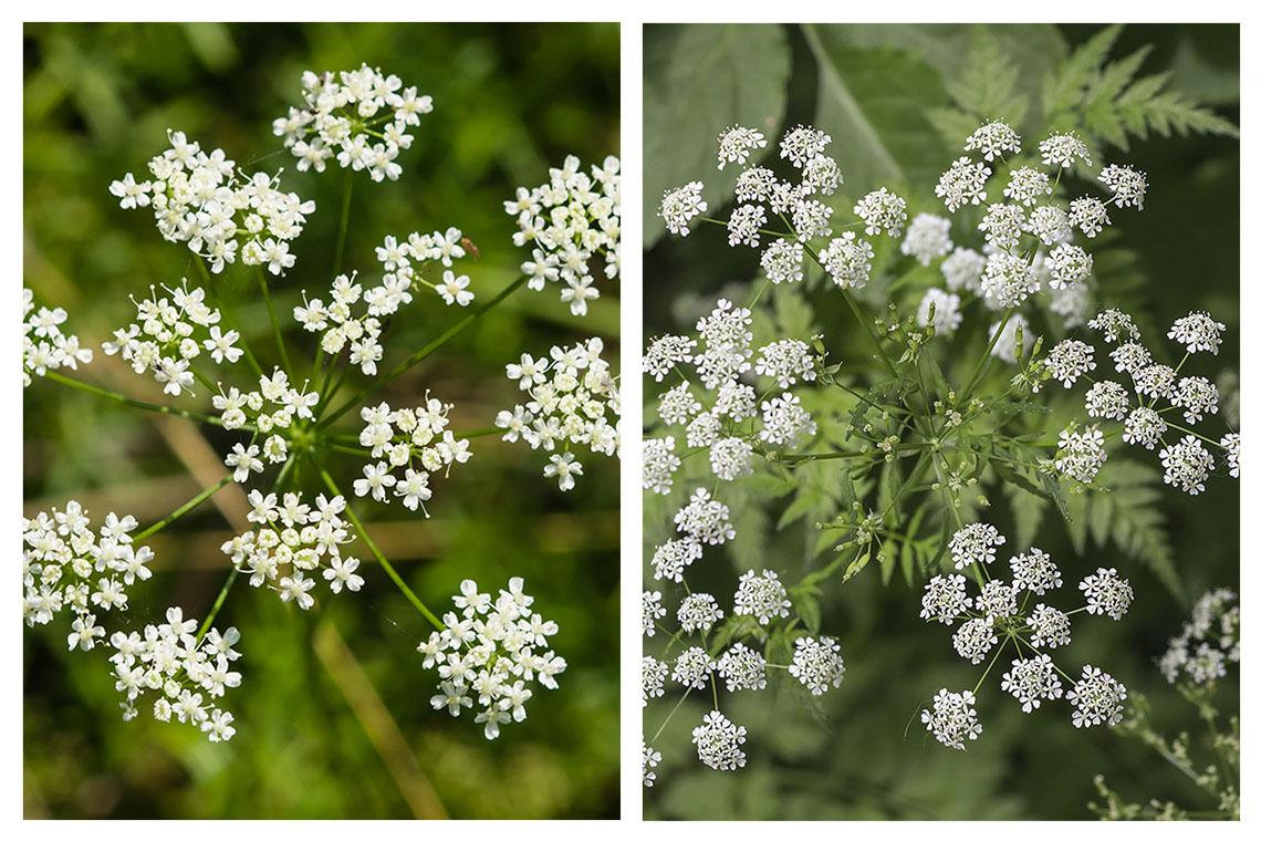 Anhand der Blüten sind Giersch (links) und der gefleckte Schierling (rechts) kaum auseinanderzuhalten. © iStock / getty images