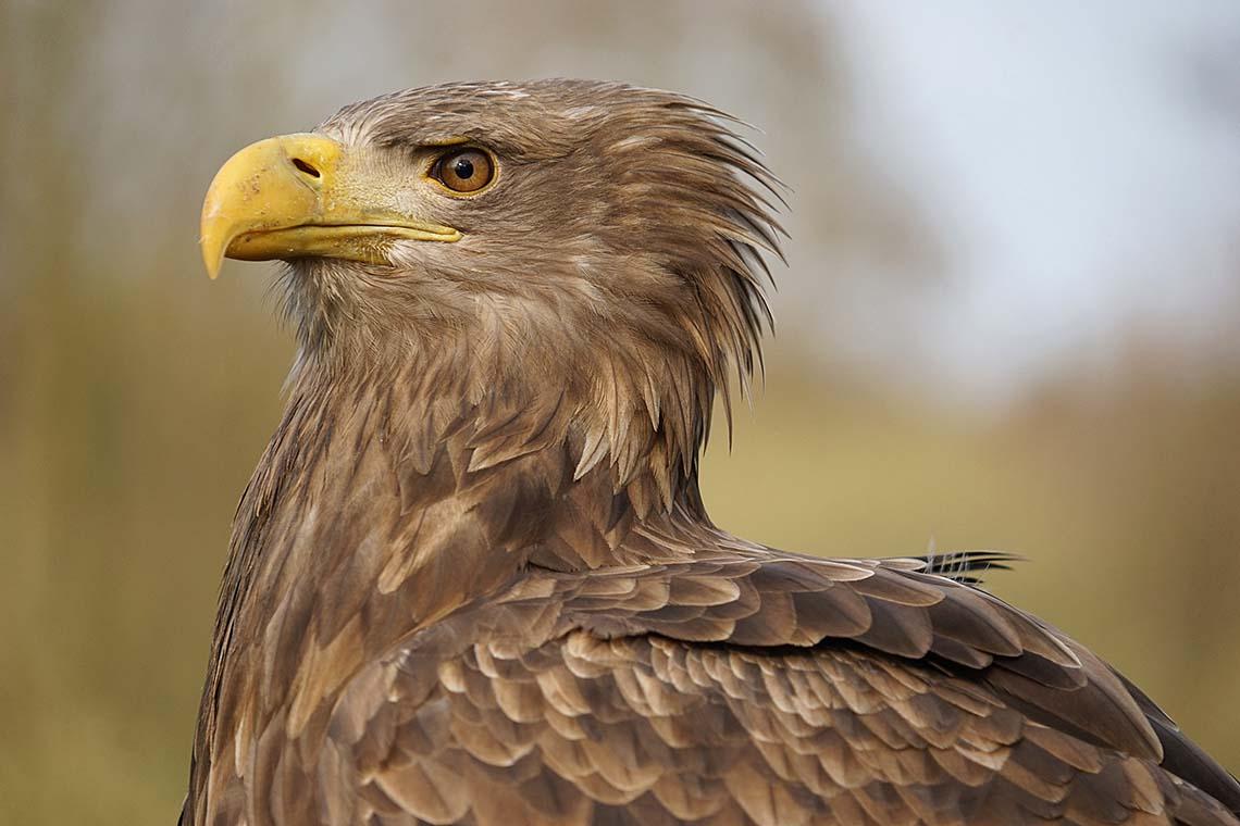 Ein stolzes Tier: Seeadler am Schaalsee © Robert Günther / WWF Deutschland